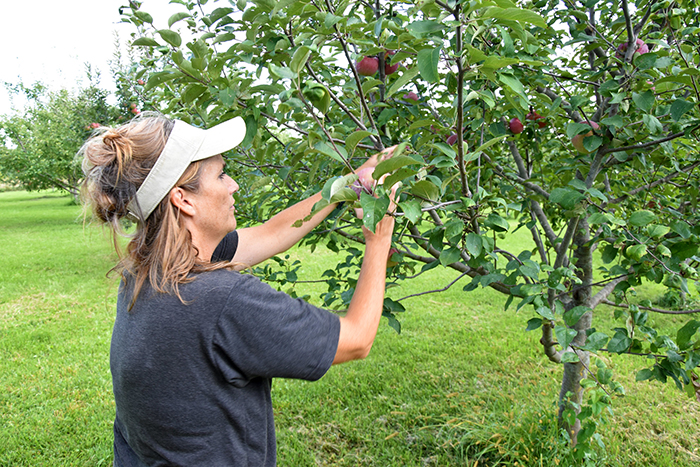 Becky picks apples from her now 200-tree orchard in Clarke County, Iowa. She got started with help from USDA's Natural Resources Conservation Service.