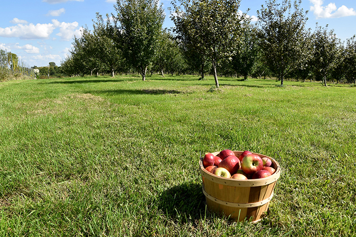 A half bushel of apples picked from Apple Trails Family Orchard. Trees were planted and spaced precisely with consideration for soil characteristics and seasonal harvest time.