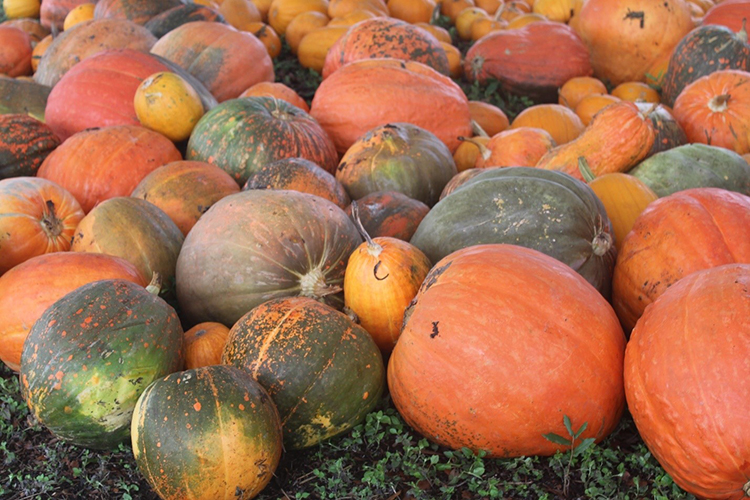 Photo of different color pumpkins.