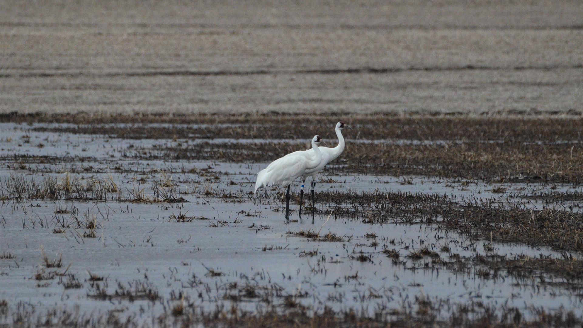 Whooping Cranes wade in wetlands water