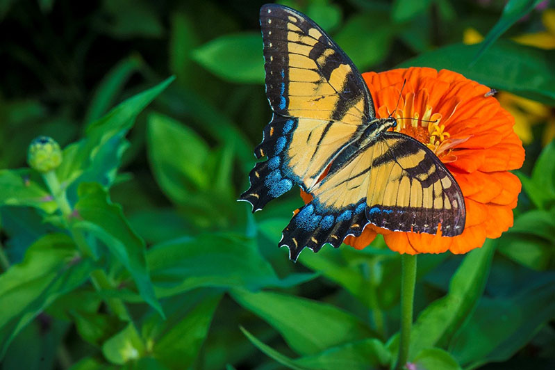 Flowering plants have co-evolved with pollinators to attract specific species: butterflies are lured toward sweet-smelling red, orange, and purple flowers, while flies and beetles are drawn to white or green flowers that smell slightly rotten.