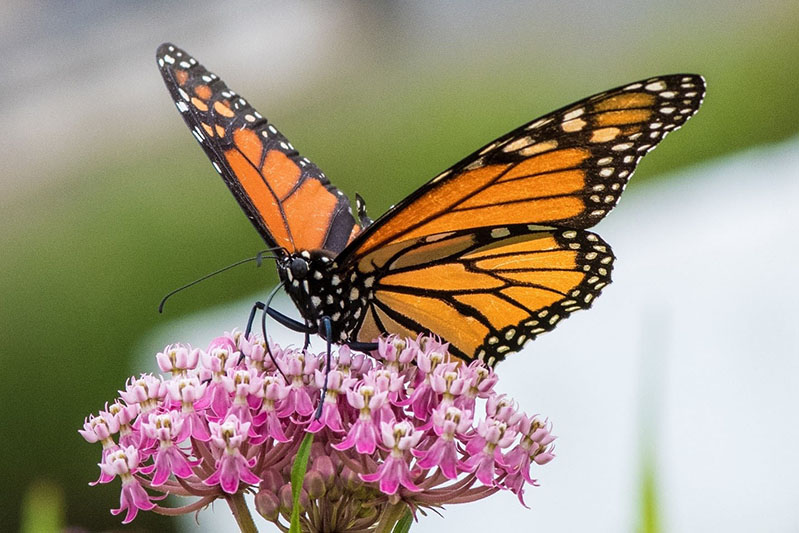 Populations of monarch butterflies have decreased drastically since 1995, in part because of the decrease in native plants like milkweed and other abundant sources of nectar that feed them.