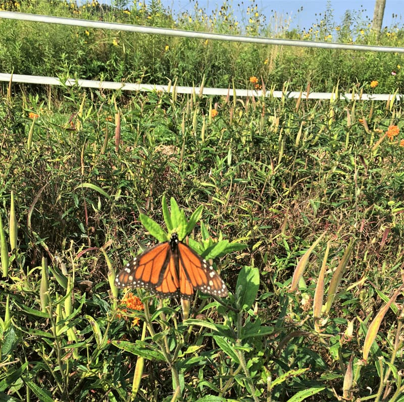 A monarch butterfly in a field with wildflowers