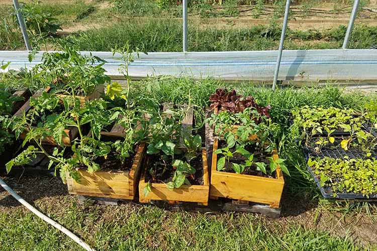 Healthy, growing produce on Foot Print Farms.