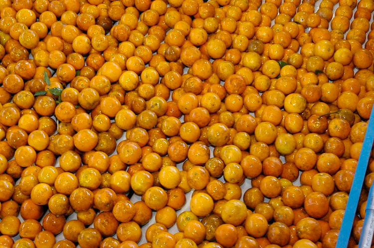 Freshly washed oranges in rows on a conveyor belt.