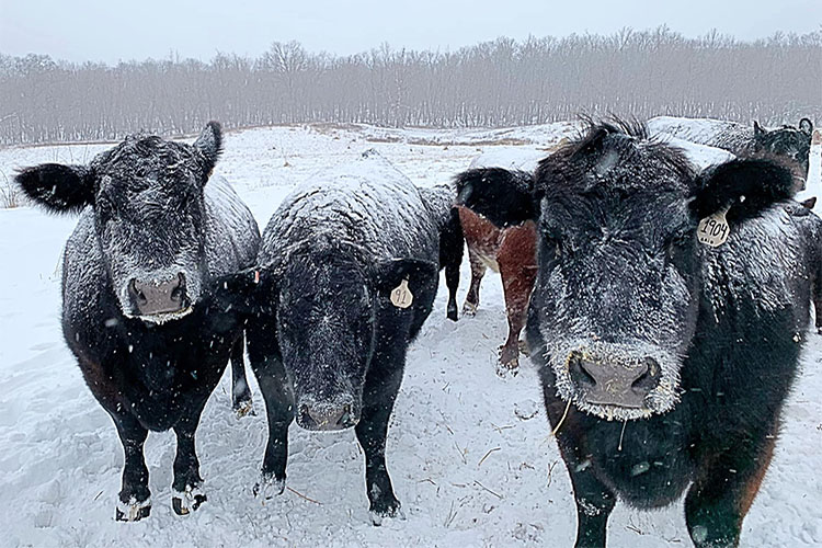 Livestock in Missouri weather the winter storms.