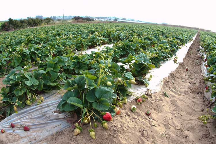 Coverage through Product and Revenue History is available to strawberry growers in certain Florida and California counties. USDA photo.