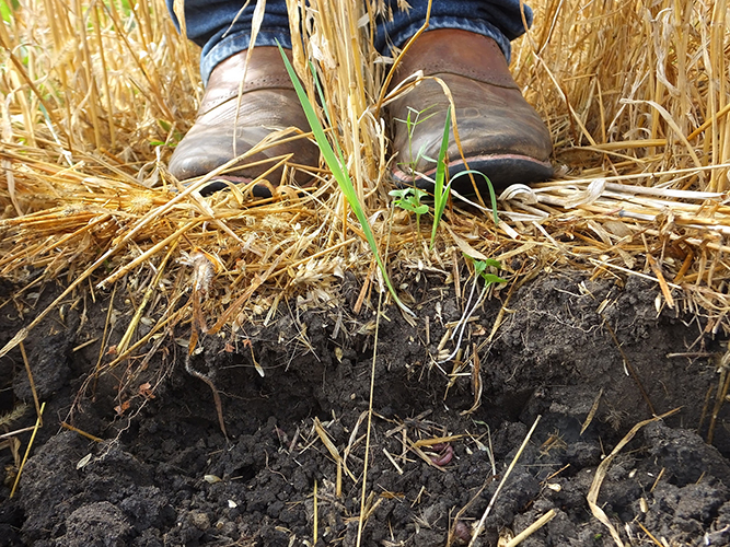 Boots stand above soil, with cover crops.