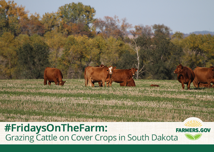Photo of a herd of cattle grazing on fall pasture with farmers.gov logo overlay and story title, FridaysOnTheFarm: Grazing Cattle on Cover Crops in South Dakota