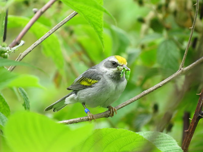A female golden-winged warbler eats a tasty snack in a young forest.