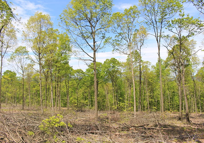 Stand of trees where timber has been harvested to benefit the golden-winged warbler.