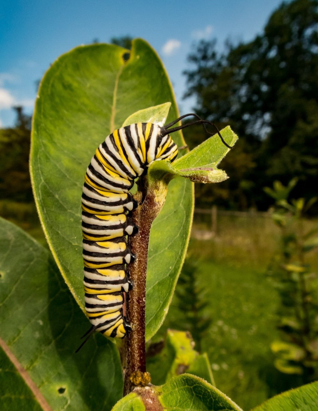 A monarch caterpillar feeds on milkweed on Laura and Mike Jackson's property in Bedford County, Pennsylvania. Photo courtesy of Laura Jackson.