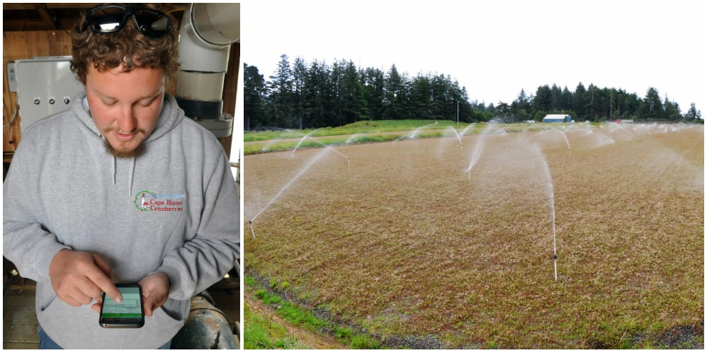 Automated sprinklers mean Nick Puhl's cranberries always get water when they need it, but never when they don't.