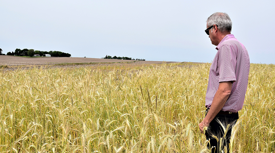 Local USDA-NRCS District Conservationist John Bruene helped airport personnel plan conservation activities on their cropland. John took a look at the waist-high cereal rye on one of the airport farms.