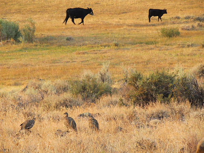Both sage grouse and livestock benefit from open sagebrush landscapes.