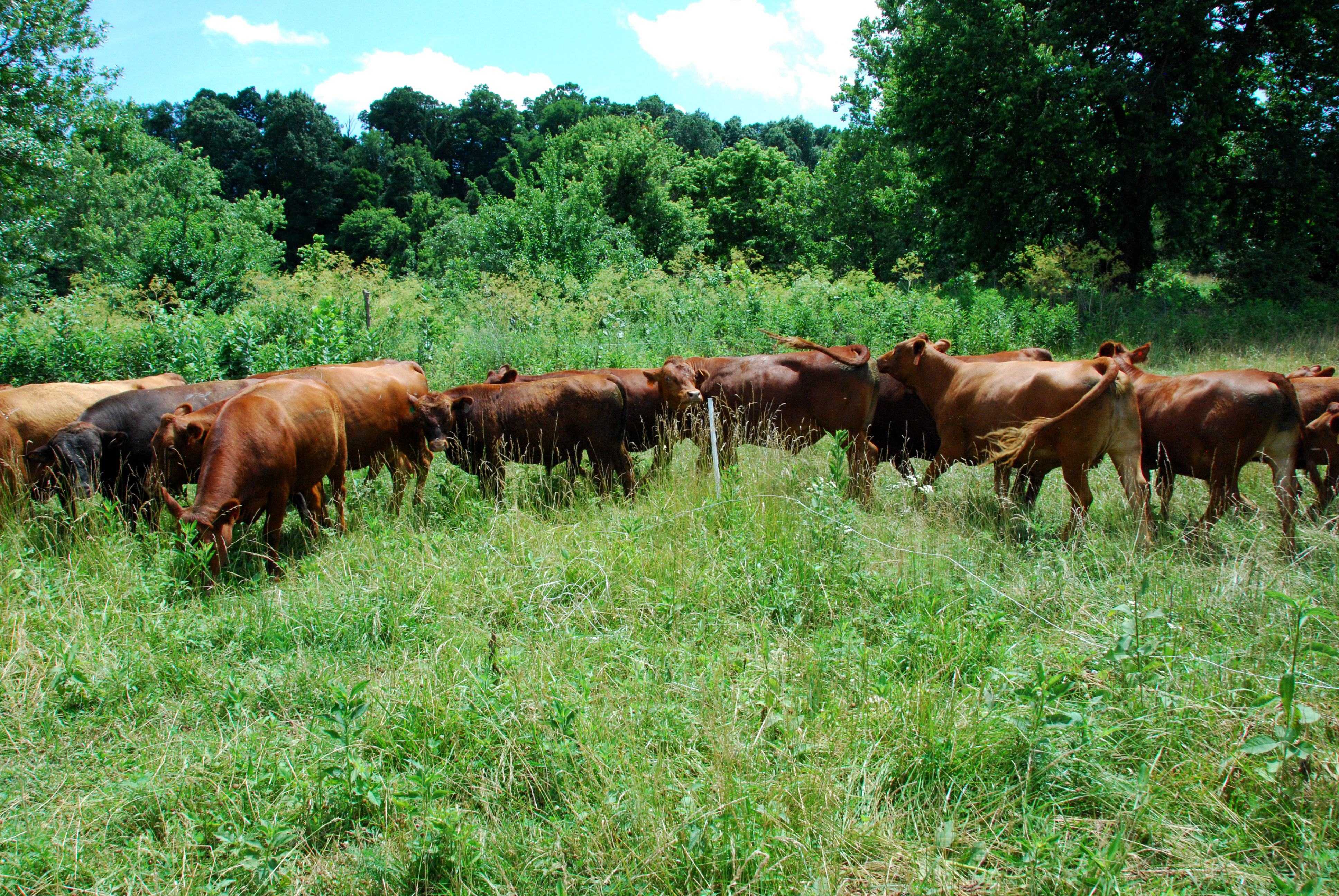 Boman's grazing system produces enough forage for a longer grazing season, only having to feed hay for two months instead of six.