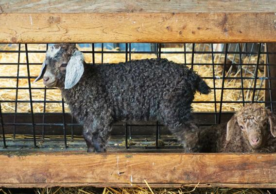 Two long-haired sheep rest at Happy Goat Lucky Ewe Farm
