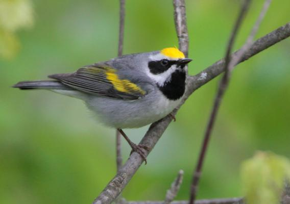Photo of a golden wing warbler bird in a tree