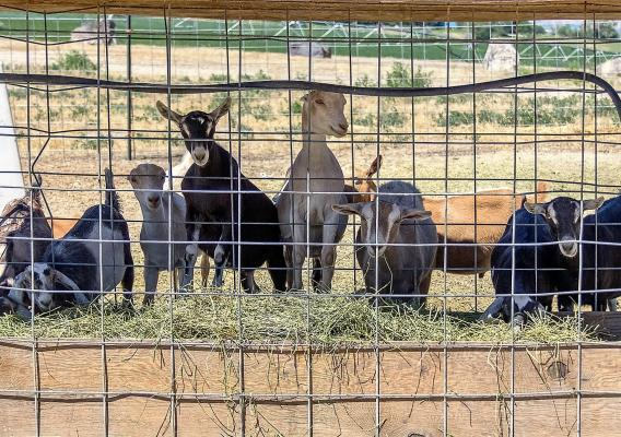 Photo of goats in a pen