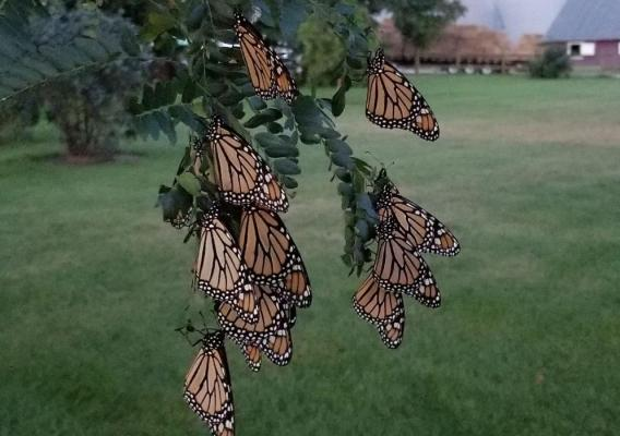Monarch butterflies roosting on an Illinois farm