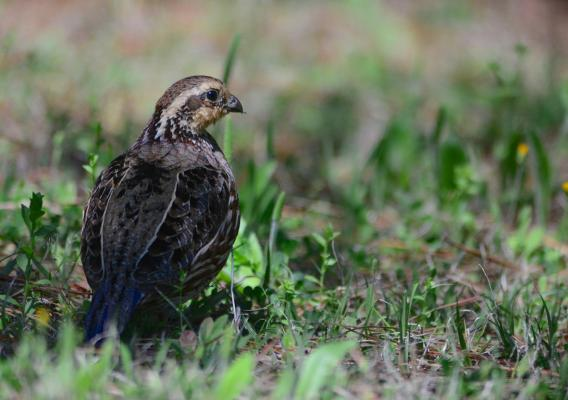 A bobwhite sitting in a field