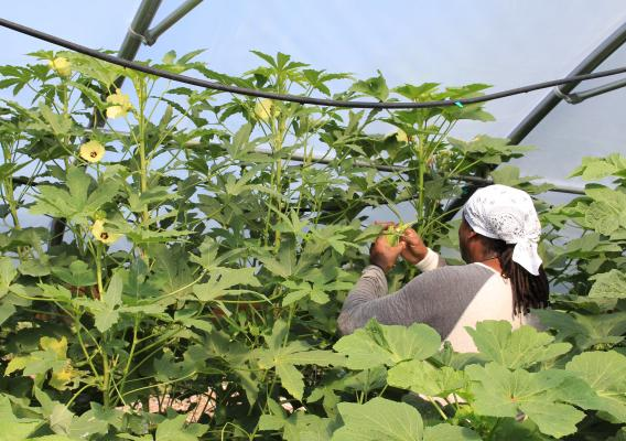 Garland Hampton grows several crops in his high tunnels, including okra.
