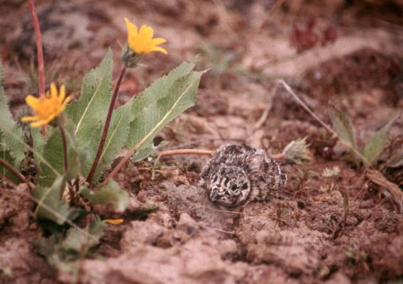 Sage grouse chicks are dependent on protein-rich arthropods during their first month of life, especially beetles, ants, and caterpillars. Photo courtesy of the Bureau of Land Management.