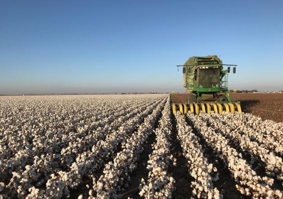 Machine harvesting cotton