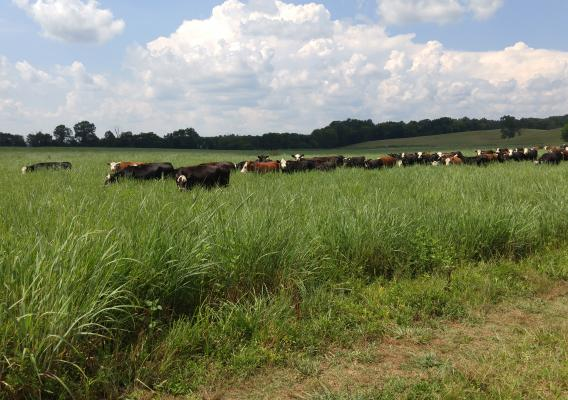 When it comes to keeping cows fat and happy, the newest available science shows integrating native grasses into grazing lands is a good option for agricultural producers.