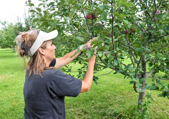 Becky Housberg picking apples on her orchard