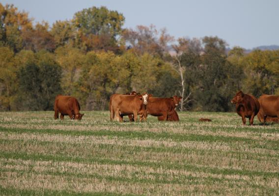Herd of cattle graze on fall pasture with a tree canopy in the background