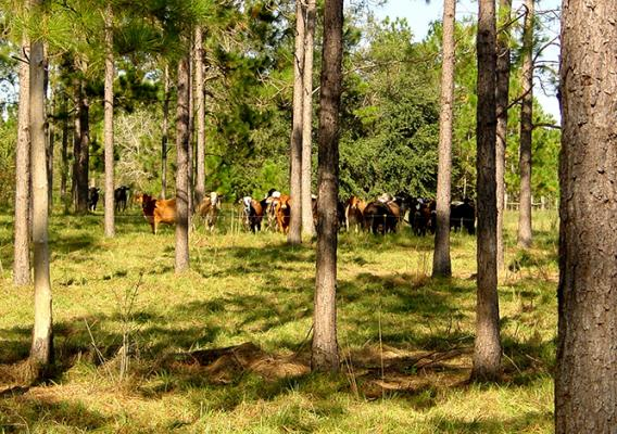Cattle stand in the shade of trees.