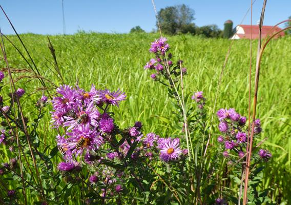Purple flowers for pollinators.