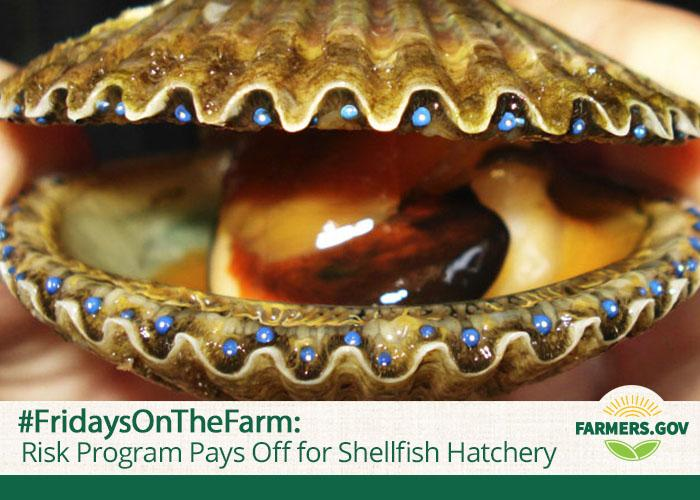Curtis Hemmel is the owner and operator of Bay Shellfish Company, one of the largest and oldest operations in the southeast United States to produce bivalve seed for the clam and oyster farming industry.