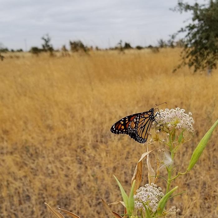 Farmers and ranchers can make simple tweaks on their working lands to provide quality habitat for monarchs. Photo courtesy of the Xerces Society.