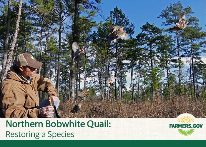Loss, degradation and fragmentation of habitat on a continental scale has largely silenced the northern bobwhite quail.