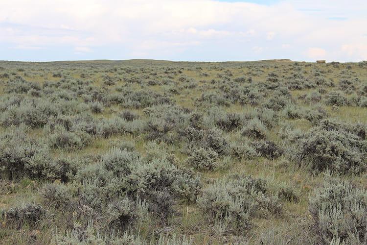 Sage grouse depend on sagebrush landscapes for survival.