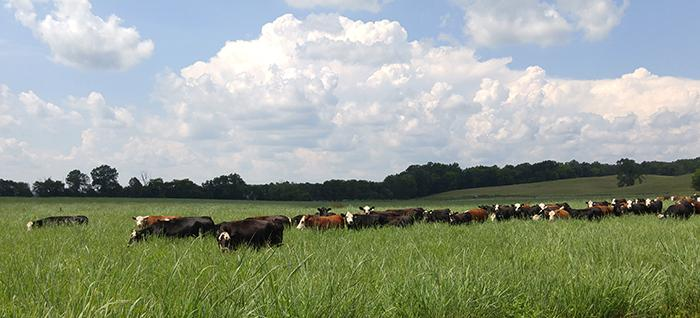 Native grass pastures, such as this switchgrass, provide good summer forage as well as suitable cover for species such as northern bobwhite.