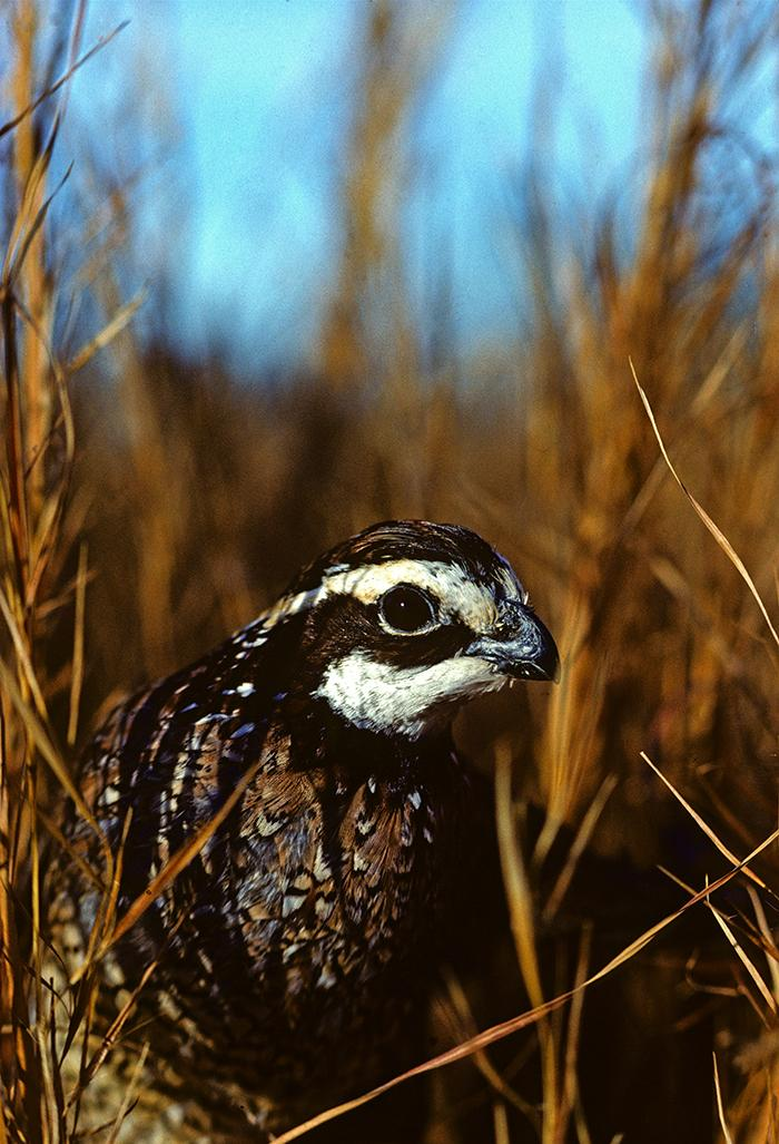 The northern bobwhite is one of many species that benefit from grazing operations with warm-season grasses that are native to the region.