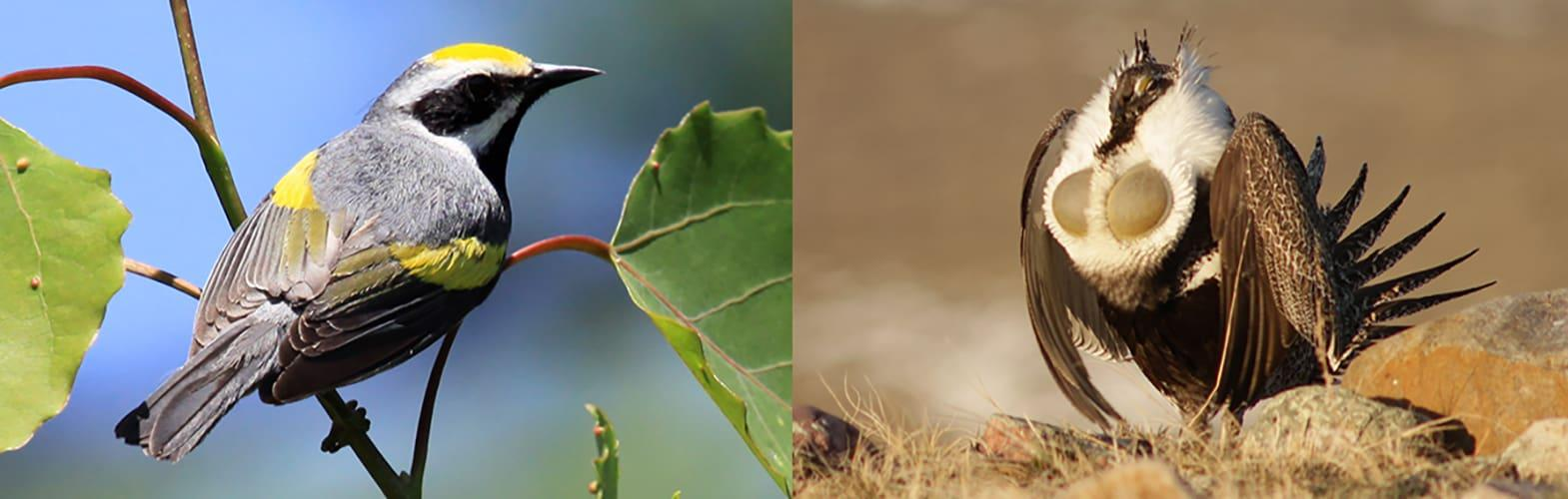A golden-winged warbler and a greater sage-grouse.
