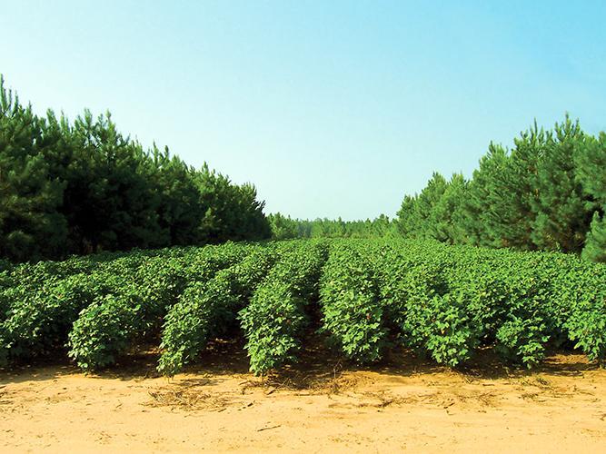 Rows of crops grown between trees.