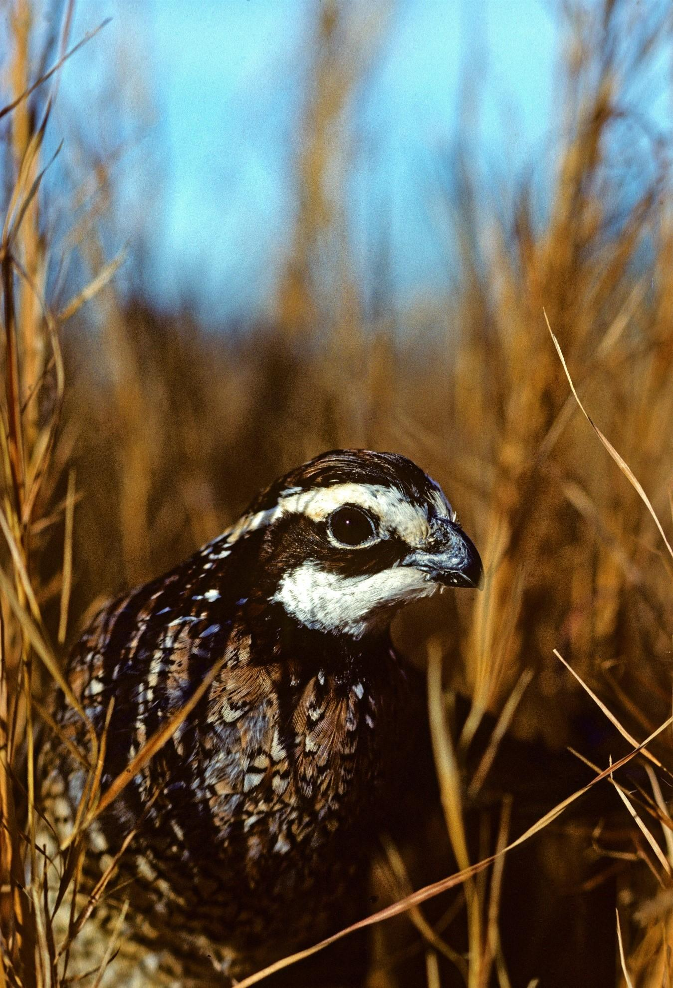 To help reconnect cattle and quail, USDA's Natural Resources Conservation Service is working with cattle producers to replace non-native forage grasses, like fescue, with native warm-season grasses that create productive and palatable grazing options for livestock while benefiting quail and other wildlife species.