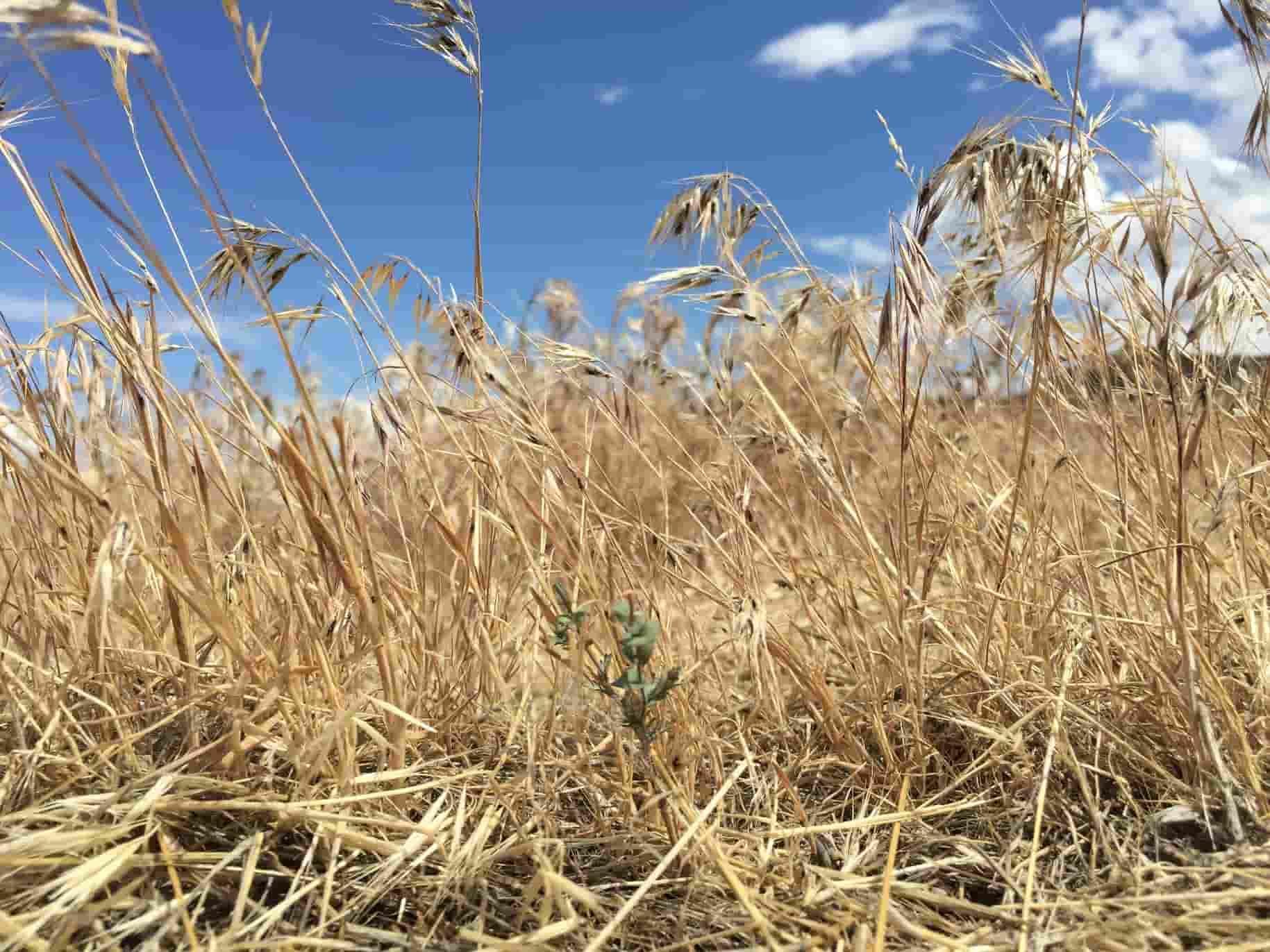 Field of cheatgrass
