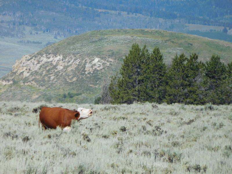 Cow on Rolling Thunder Ranch in Wyoming by Tim Delaney.