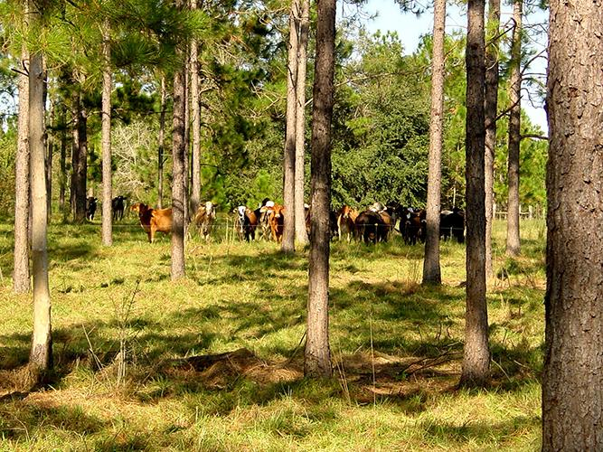 Cattle stand in shade under trees.