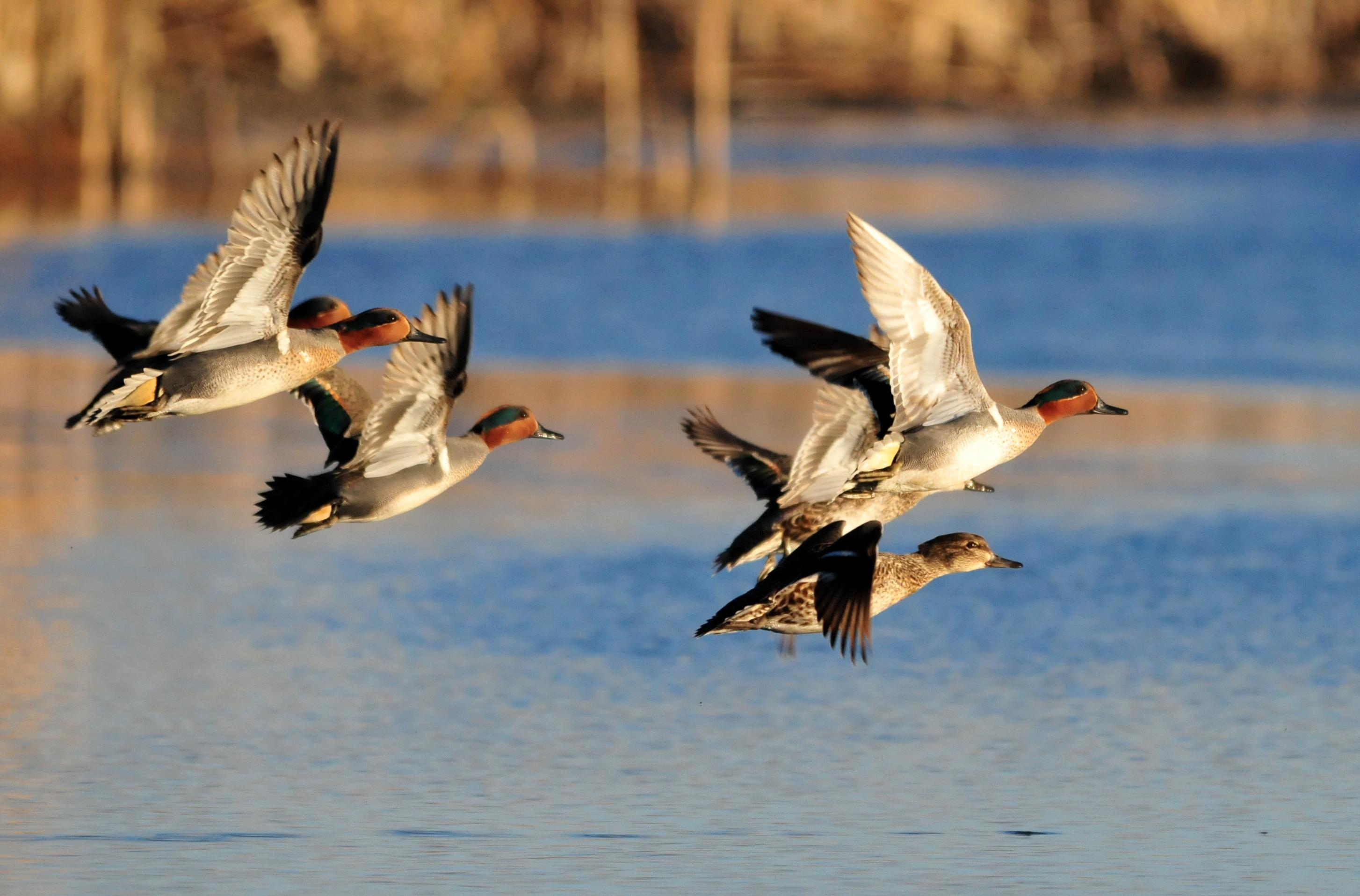 A variety of waterfowl, including green-winged teal, use wetlands for food and habitat.