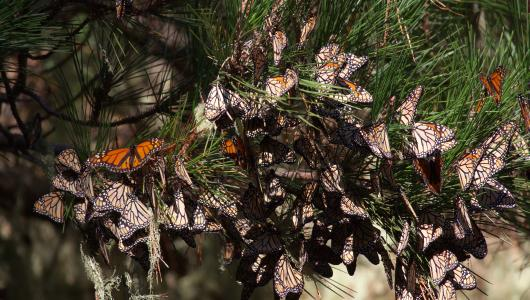 The monarch butterfly's western population, found on west of the Rocky Mountains, spend their winters along the Pacific coast. Photo courtesy of the Xerces Society.