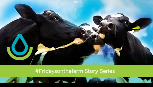 Three black and white cows with a branded overlay of the NRCS logo and green stripe with the #Fridaysonthefarm title