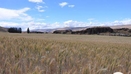 A photo of a wheat field with mountains in the background.